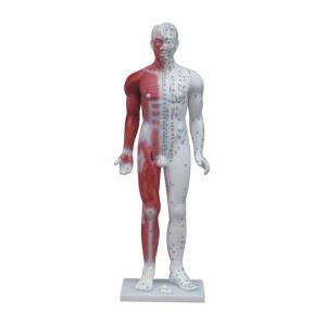 Menschliches männliches Medizinakupunkturmodell (mit Muskelanatomie) 84cm